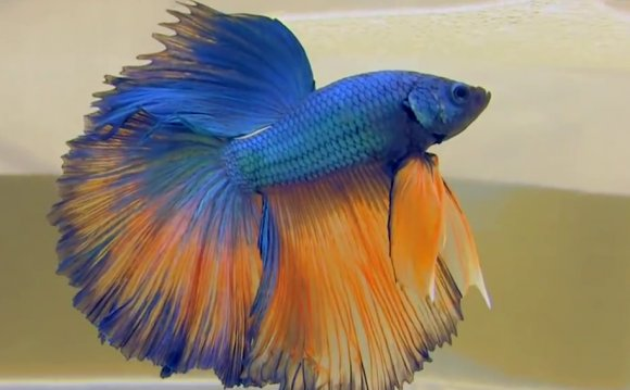 1+ images about betta fish