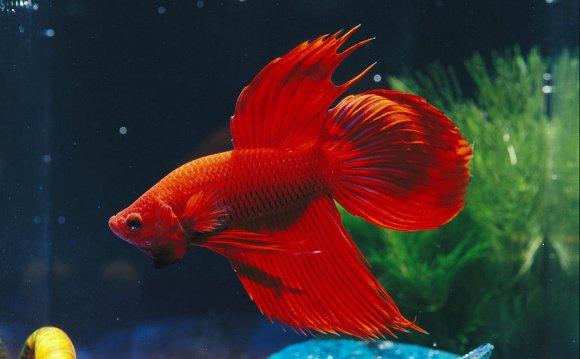 900x602 Red Fighting Fish