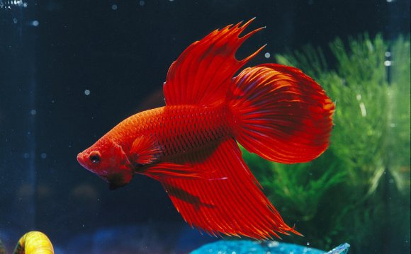 A Red Siamese Fighting Fish in