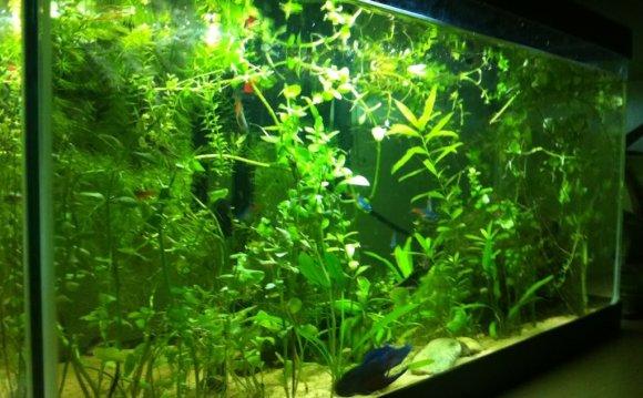 Betta fish in a community tank