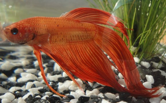 An orange betta by me-and-mojo