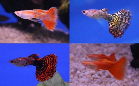 Aquarium Fish Breeding: How to