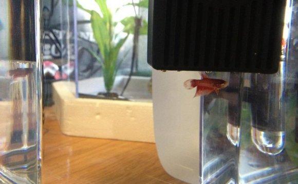 Baby Male Betta by kelpish