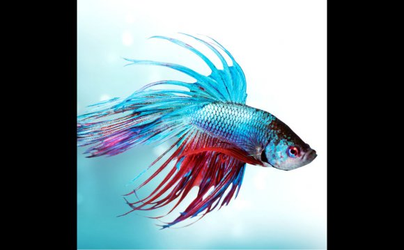 Betta Fish Care - Tips For