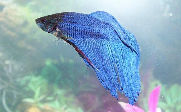 Betta Fish Diseases