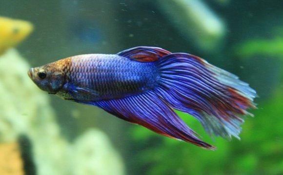 Betta Fish Facts | POPSUGAR