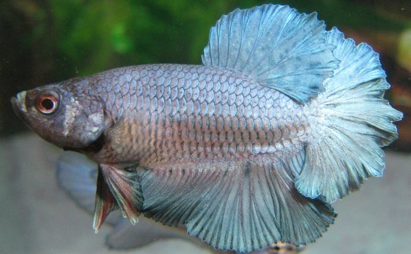 Rosetail Betta Betta Fish