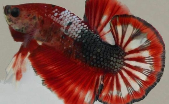Betta Fish Of Type Plakat