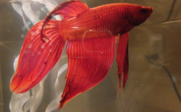 Betta Fish Diseases: Quickly