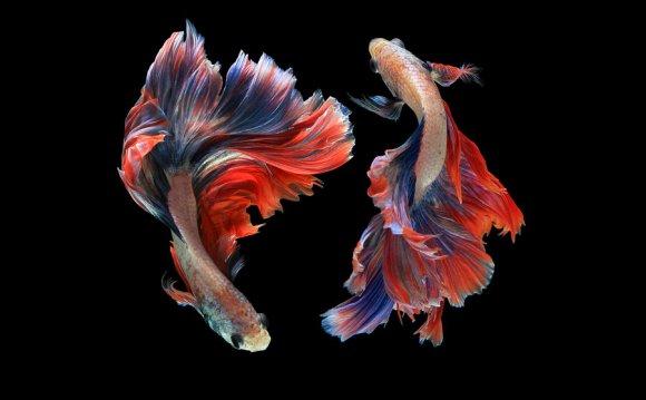 Betta Fish - Pet Yak