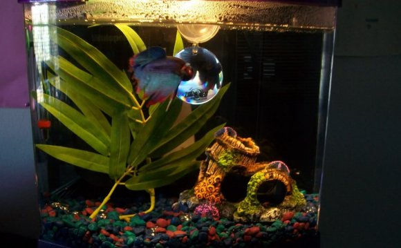 Betta fish tank mates 3 gallon