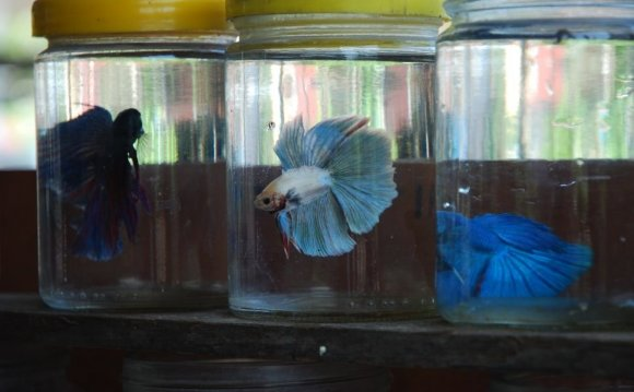 Betta Fish With Other Fish
