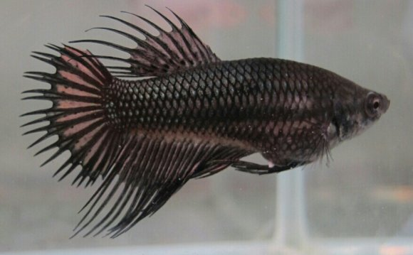 Betta on Pinterest