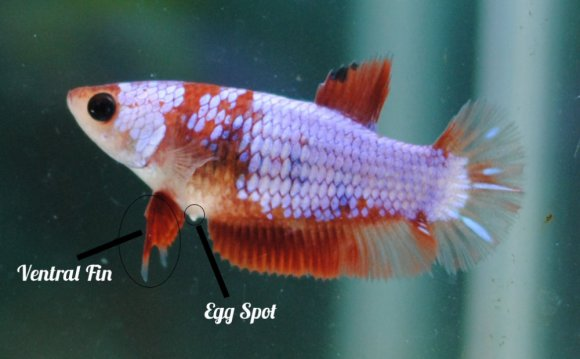 Betta Splendens Part 1 (How to