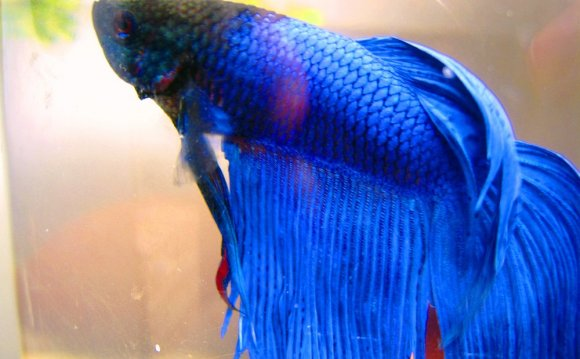 Blue Betta by Fishybobo
