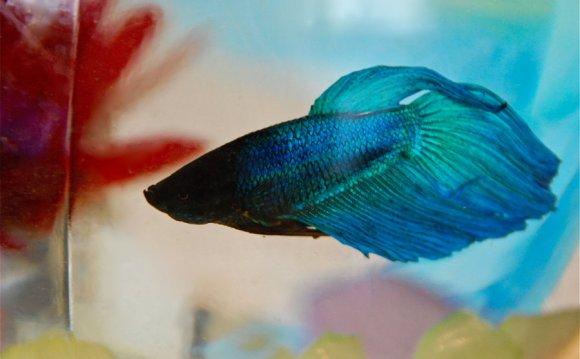 Beta fish: [link] [link]