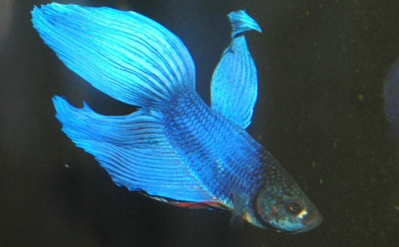 Blue Male Fighting Fish