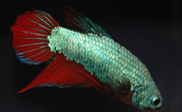 How To Breed Betta Fish |