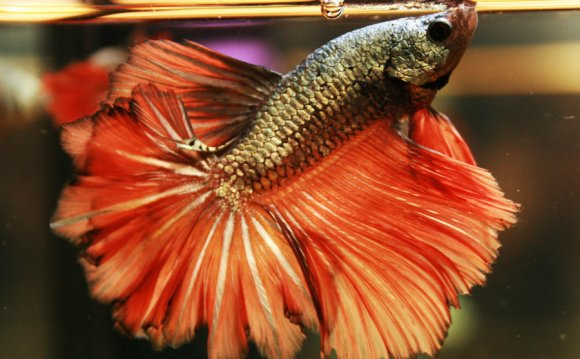 Dragon DT Betta male by
