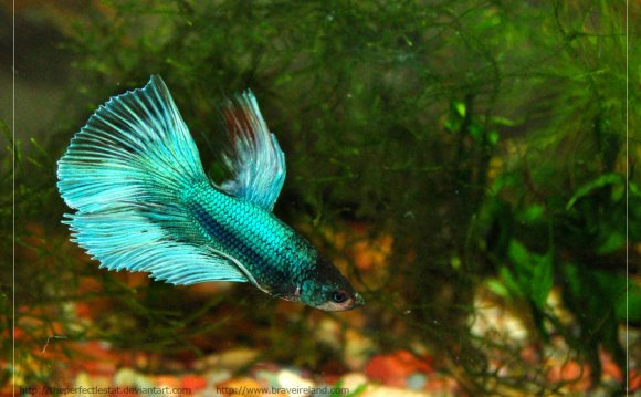 Half Moon Betta by