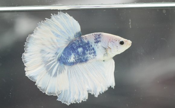 Marble bettas have color