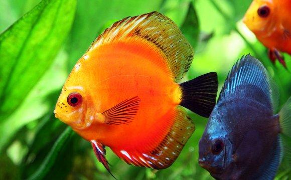 Life of sea discus fish discus