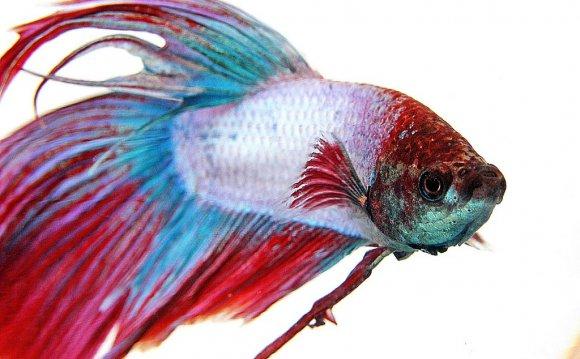 Fish Care: Siamese Fighting