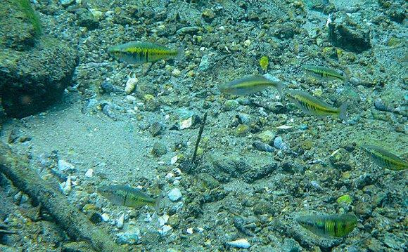 Female Boeseman s Rainbowfish