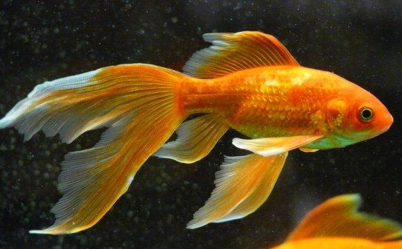 Veiltail, Fish, Goldfish, Swim