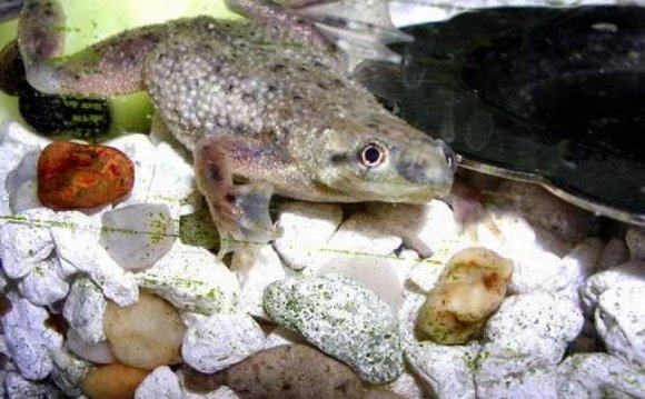 Frog-O-Rama: African Dwarf