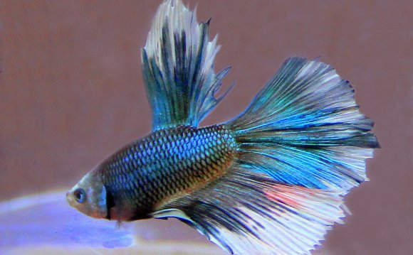 Half Moon Betta Fish by vette