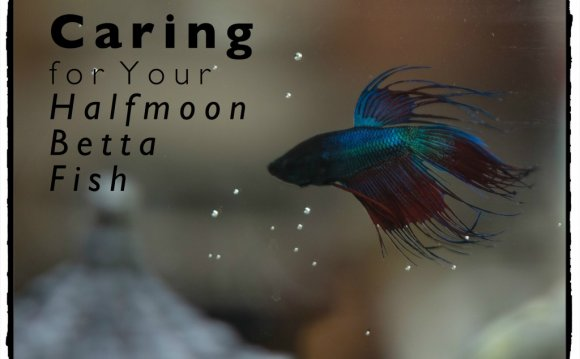 Halfmoon Betta Fish Care and