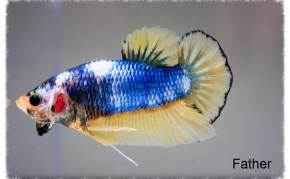 For Sale are bettas that