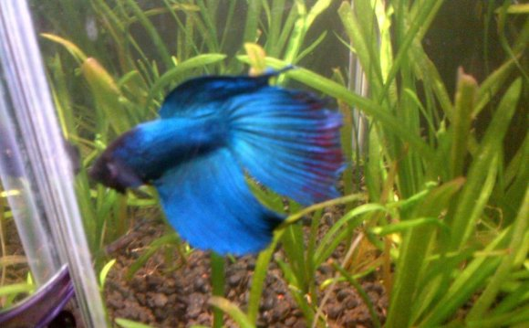 Hi, I Got My Betta Fish A Week