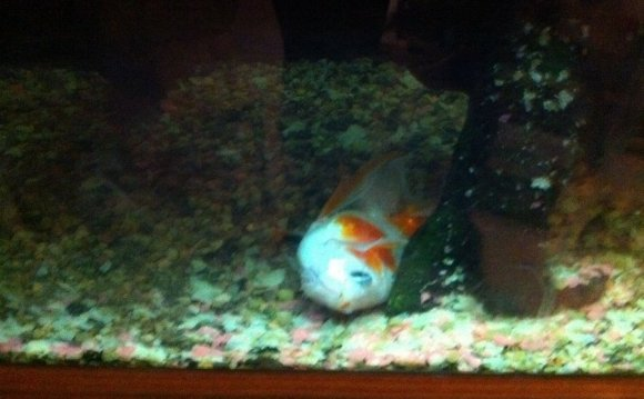 Is our Goldfish dying?