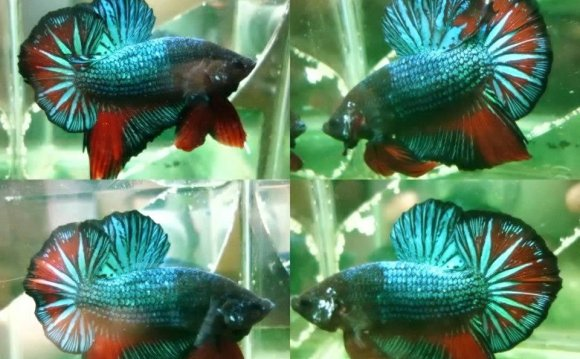 Betta fish from malaysia by