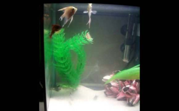 Male Betta Fighting Fish