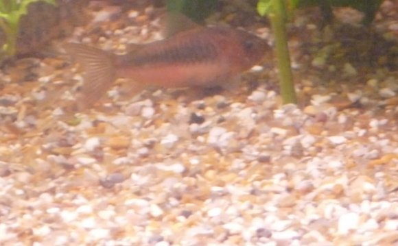 My Bronze Corydora has