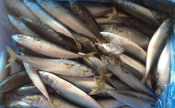 Pacific mackerel names of