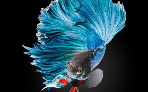 BETTA Siamese blue Fighting