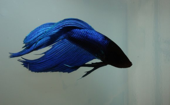 Royal blue Betta | by M