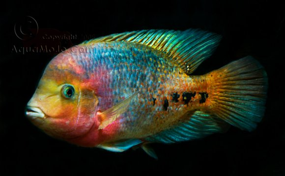 Synspilum Cichlid | One Fish