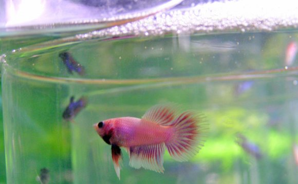 Betta siamesefightingfish