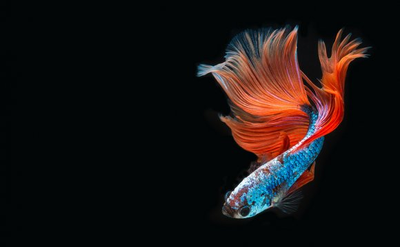 Thai fighting fish isolated on