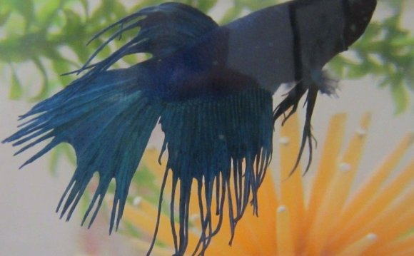 #33 Betta Fish Fin Rot