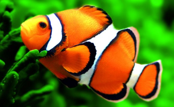 Top-facts-about-clown-fish