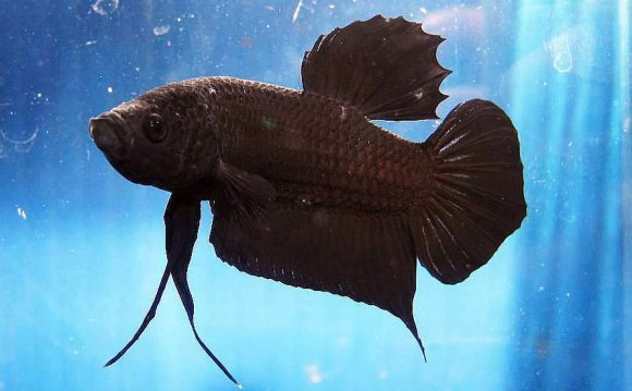 Round Tail Black Betta