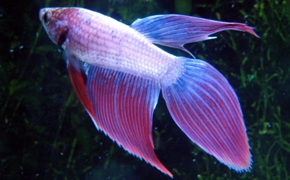 The Veil Tail betta fish (VT)