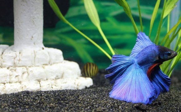 What is BETTA (FIGHTING FISH)?