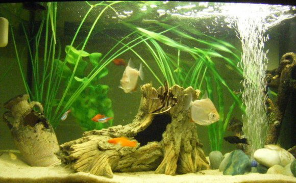 Siamese fighting fish tank Setup